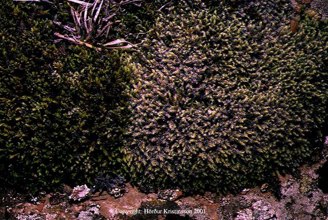 Mynd af Hærugambri (Racomitrium canescens)