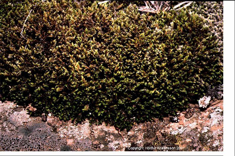 Mynd af Melagambri (Racomitrium ericoides)