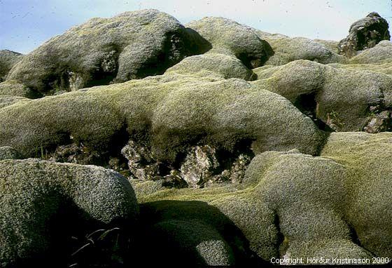 Mynd af Hraungambri (Racomitrium lanuginosum)
