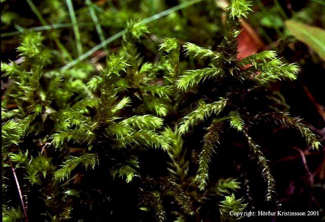 Mynd af Urðaskraut (Rhytidiadelphus loreus)