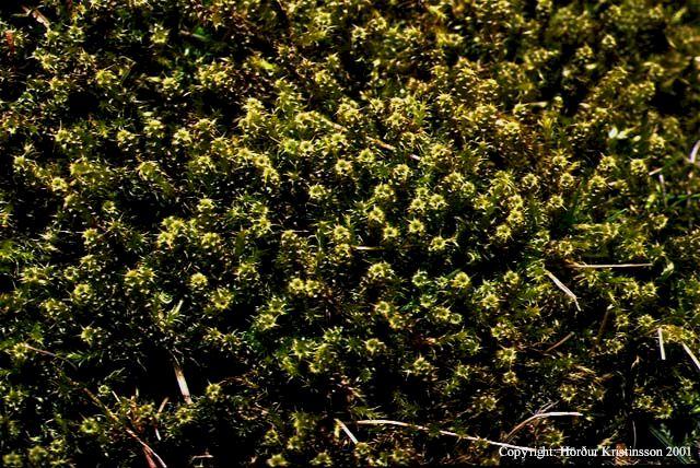 Mynd af Engjaskraut (Rhytidiadelphus squarrosus)