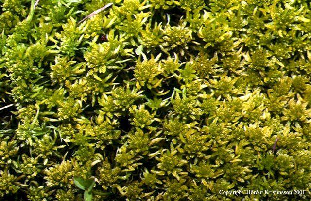 Mynd af Bleytuburi (Sphagnum teres)