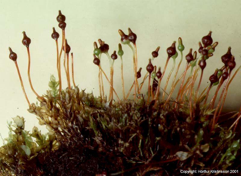 Mynd af Kúluteðill (Splachnum vasculosum)