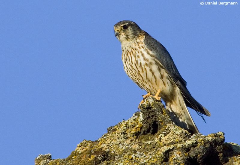 Smyrill (Falco columbarius)