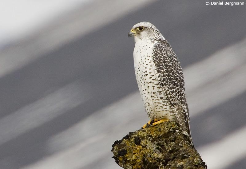 Fálki (Falco rusticolus)