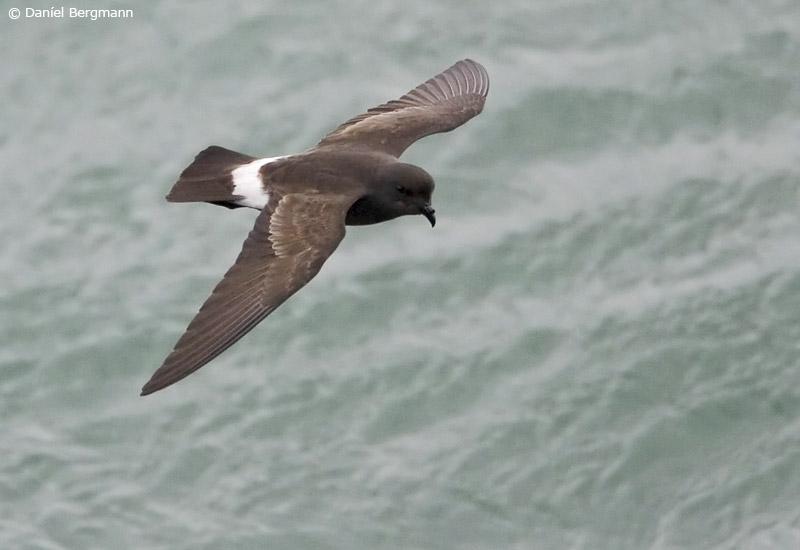 Stormsvala (Hydrobates pelagicus)