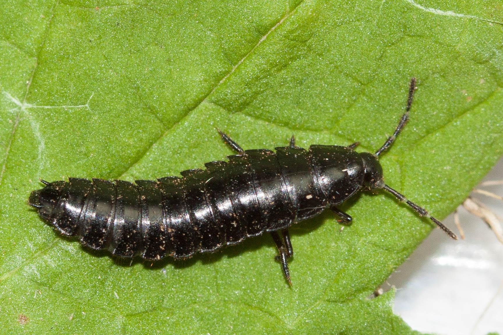 Sniglanárakki – Phosphuga atrata