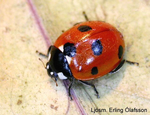Sjödepla - Coccinella septempunctata