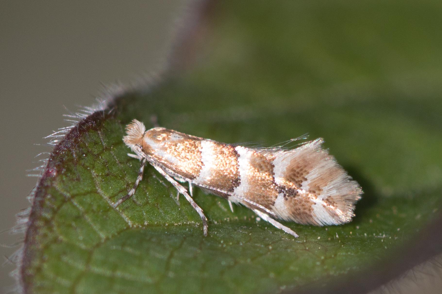 Toppagullmölur – Phyllonorycter emberizaepenellus