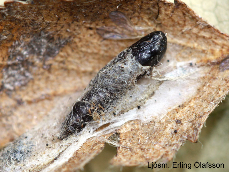 Birkivefari - Acleris notana