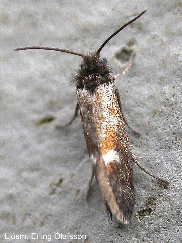 Birkikemba - Heringocrania unimaculella