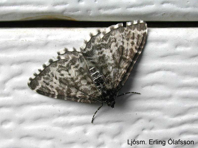 Birkifeti - Rheumaptera hastata