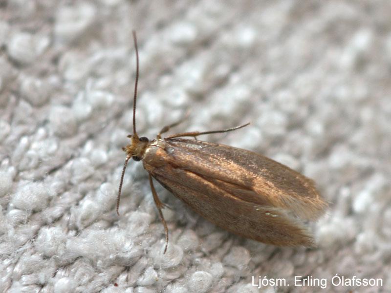 Fatamölur - Tineola bisselliella
