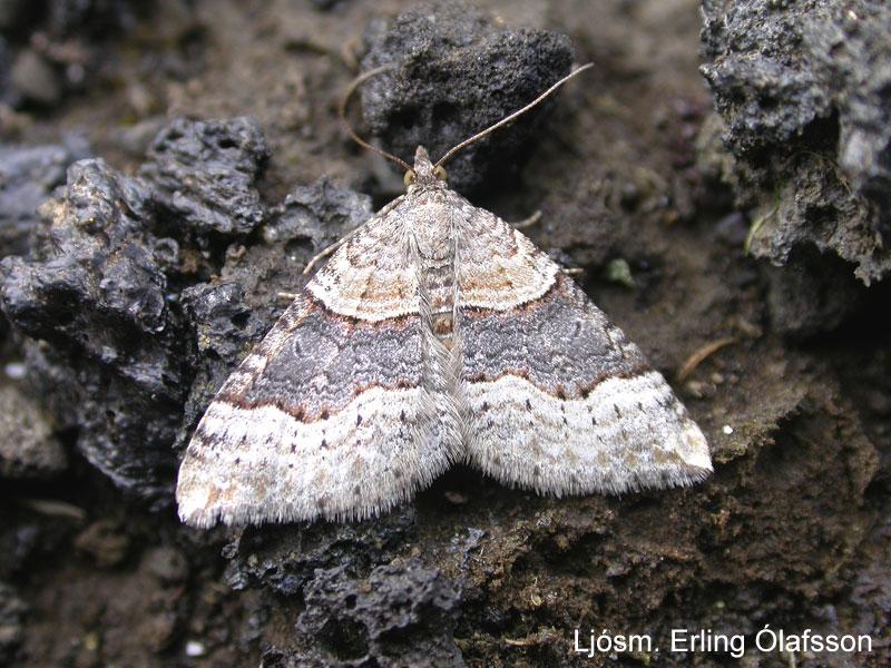 Túnfeti - Xanthoria decoloraria