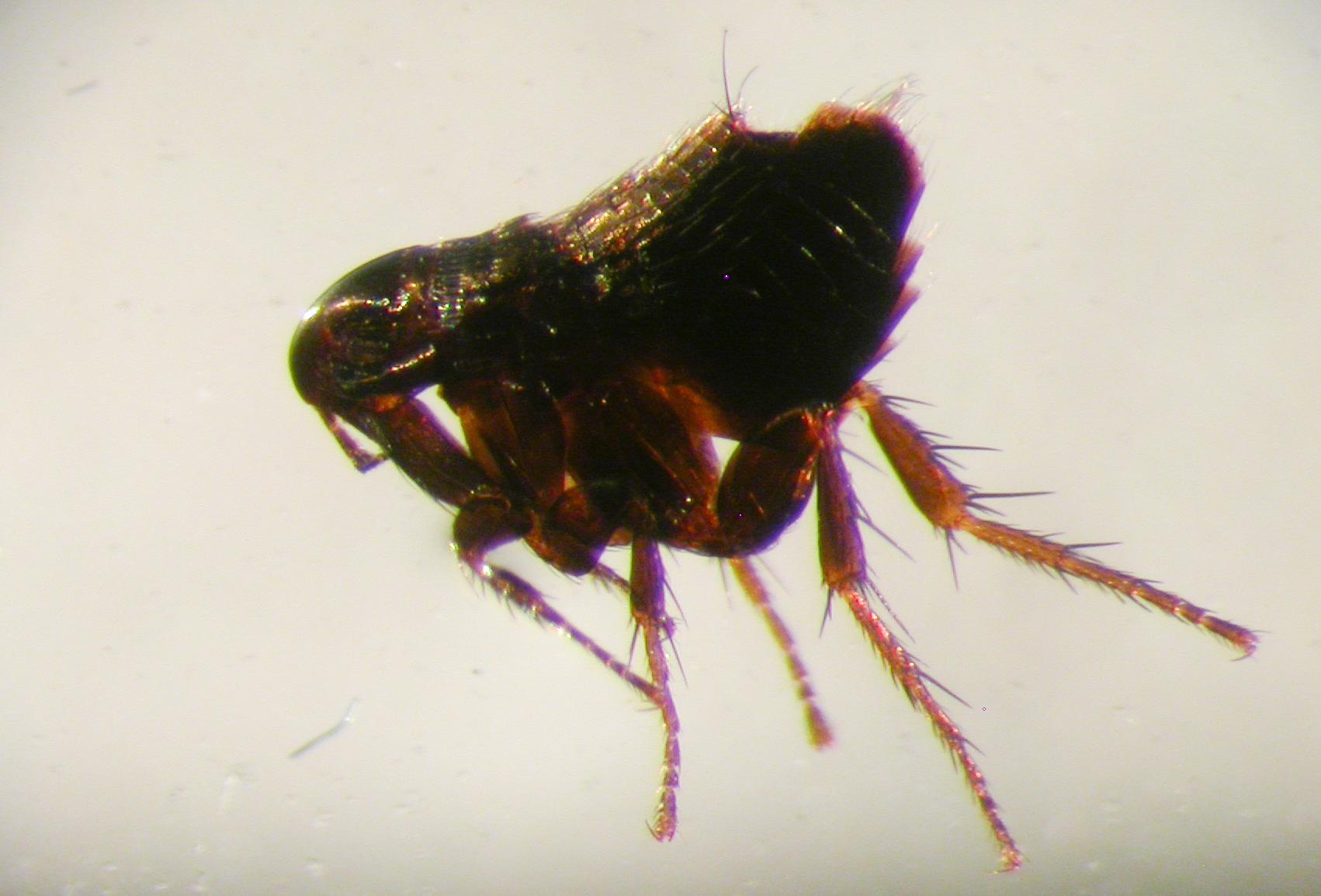 Starafló - Ceratophyllus gallinae