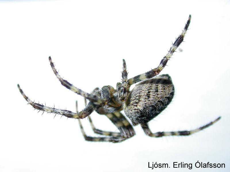 Krosskönguló - Araneus diadematus