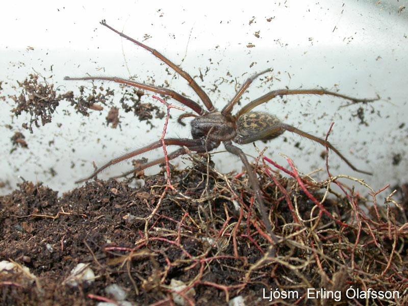 Skemmukönguló - Eratigena atrica