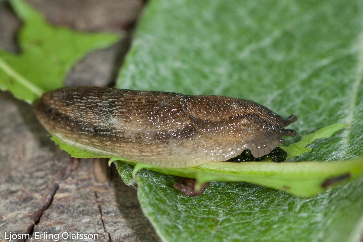 Beltasnigill - Arion fasciatus