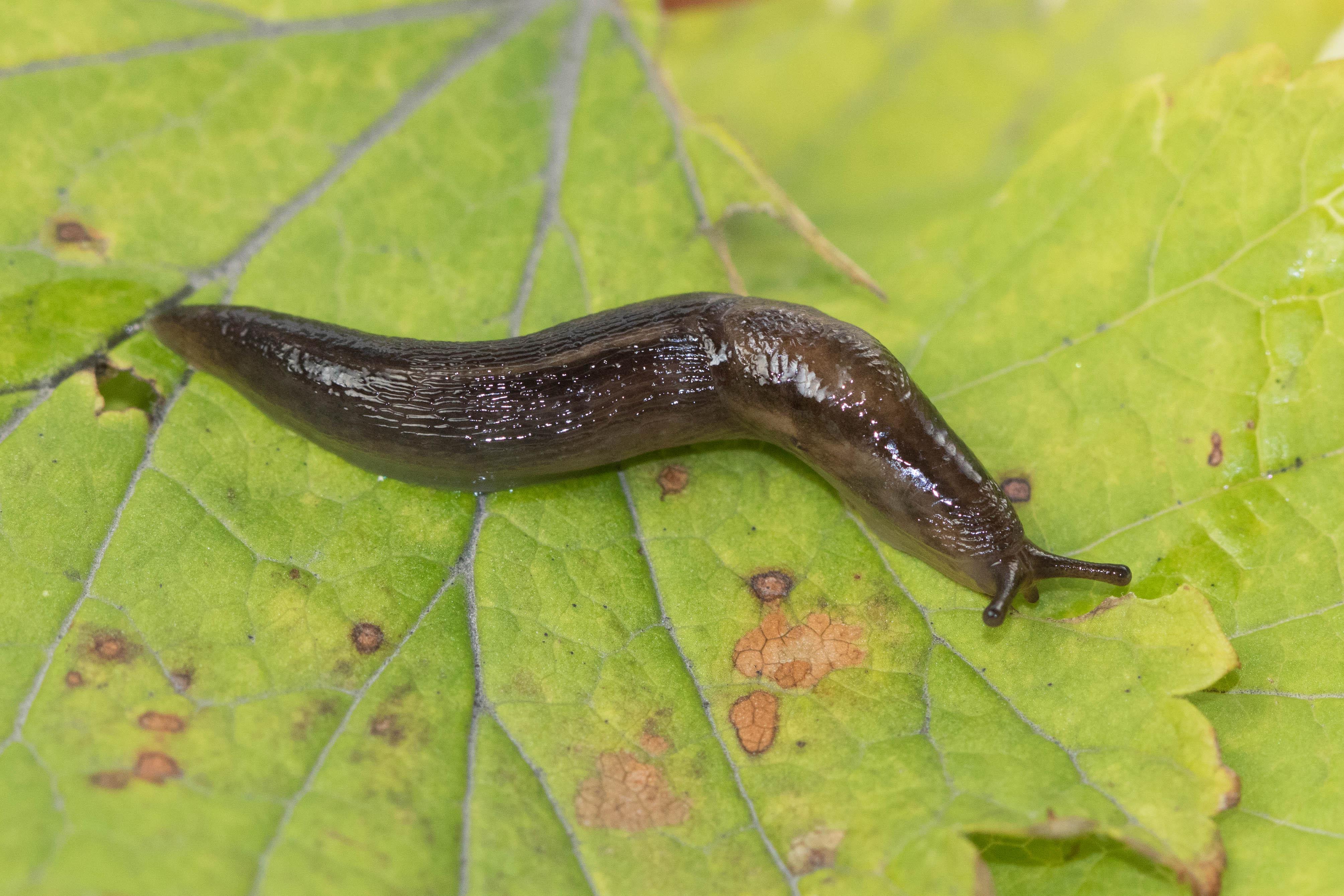 Kjölsnigill – Lehmannia marginata