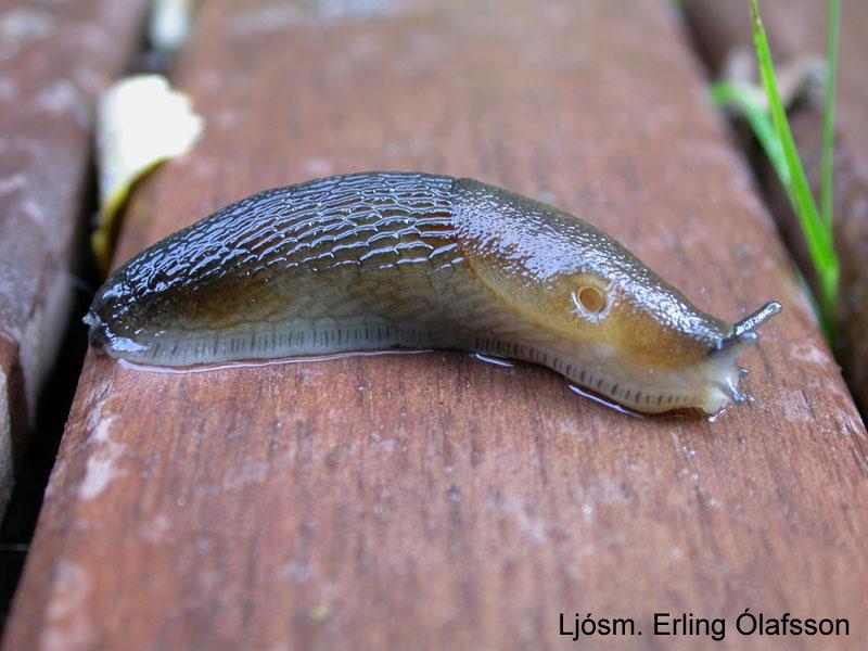 Skuggasnigill - Arion subfuscatus