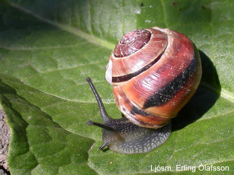 Baugabobbi - Cepaea nemoralis