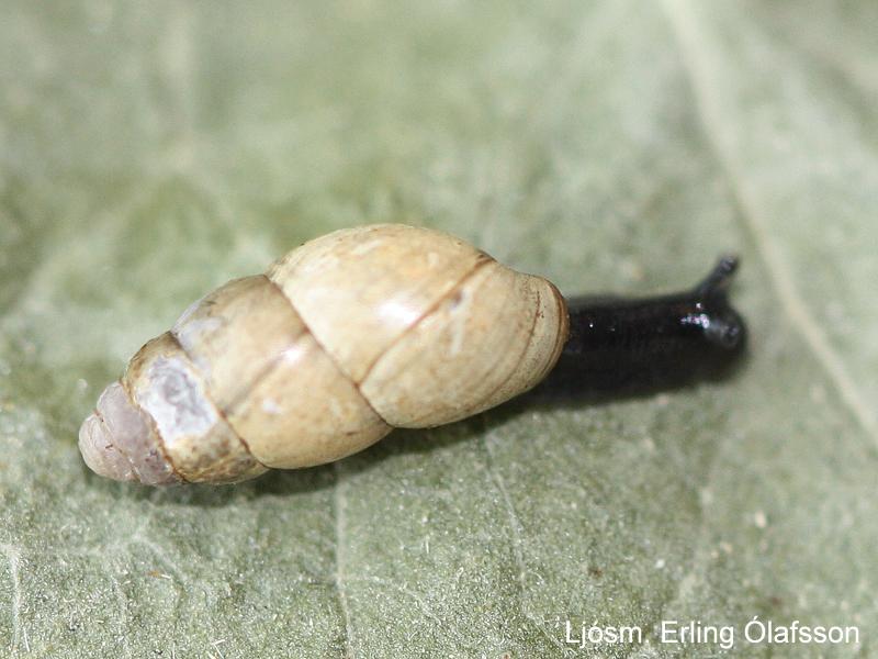 Eggbobbi - Cochlicopa lubrica