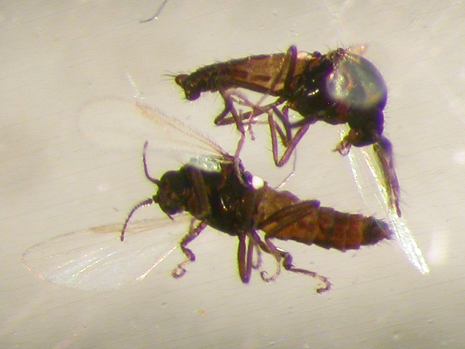 Lúsmý – Culicoides reconditus