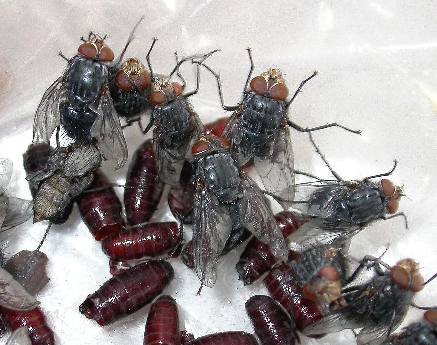 Skreiðarbokka - Calliphora vicina