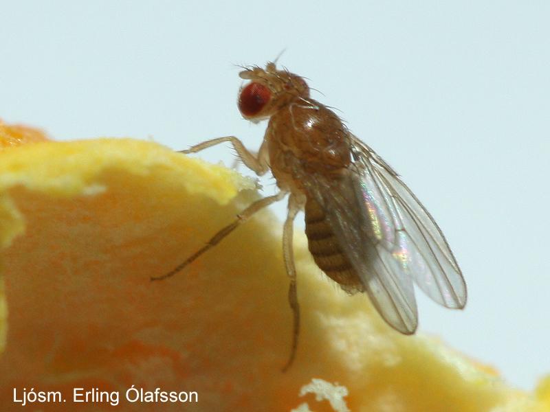 Ediksgerla - Drosophila melanogaster