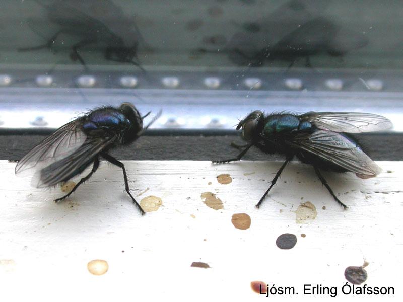 Kirkjubokka - Phrotophormia terraenovae