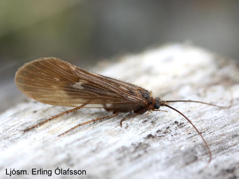 Straumbytta - Potamophylax cingulatus
